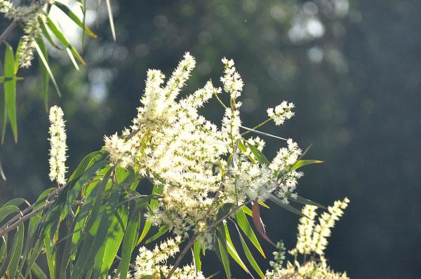 Hoa Tràm ở rừng U Minh