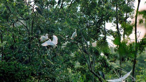 Vường chim trong thành phố Cà Mau